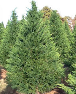 leyland-cypress