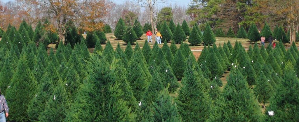 Christmas Tree Farm Photos.The Old Barn Christmas Tree Farm In Sunnyside Georgia